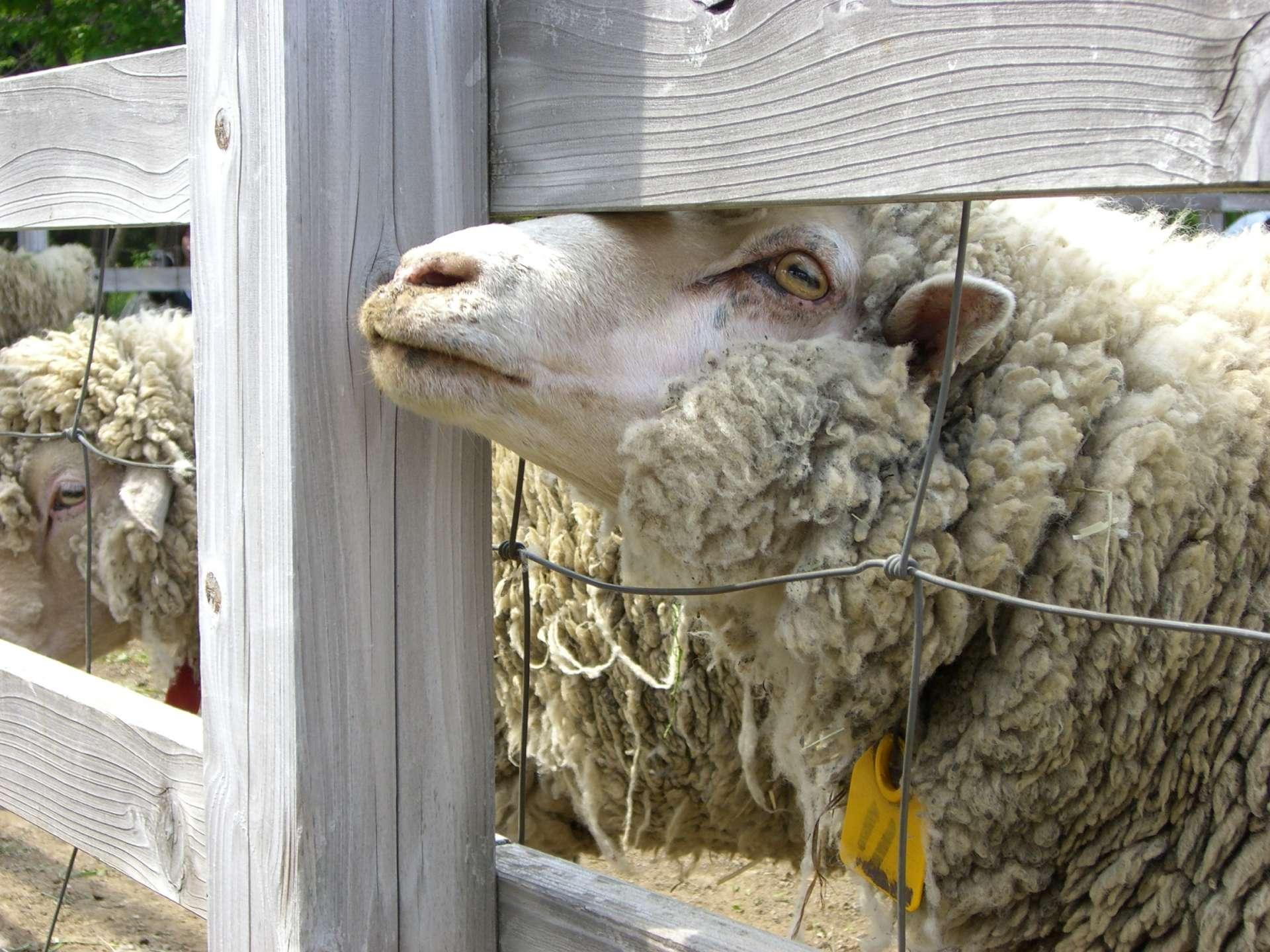 羊山公園 親近牧場裡的綿羊
