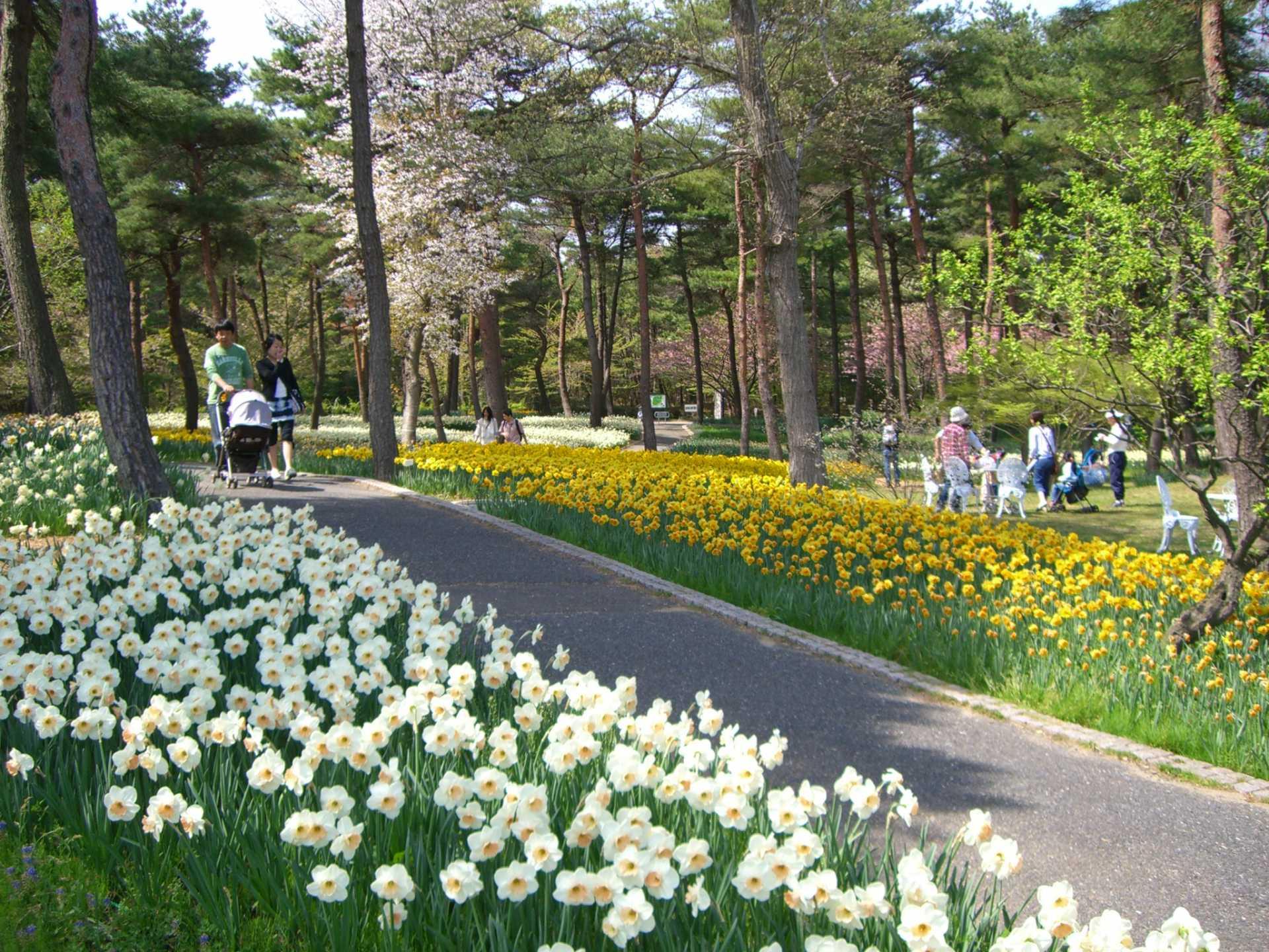 黃白相間的水仙花