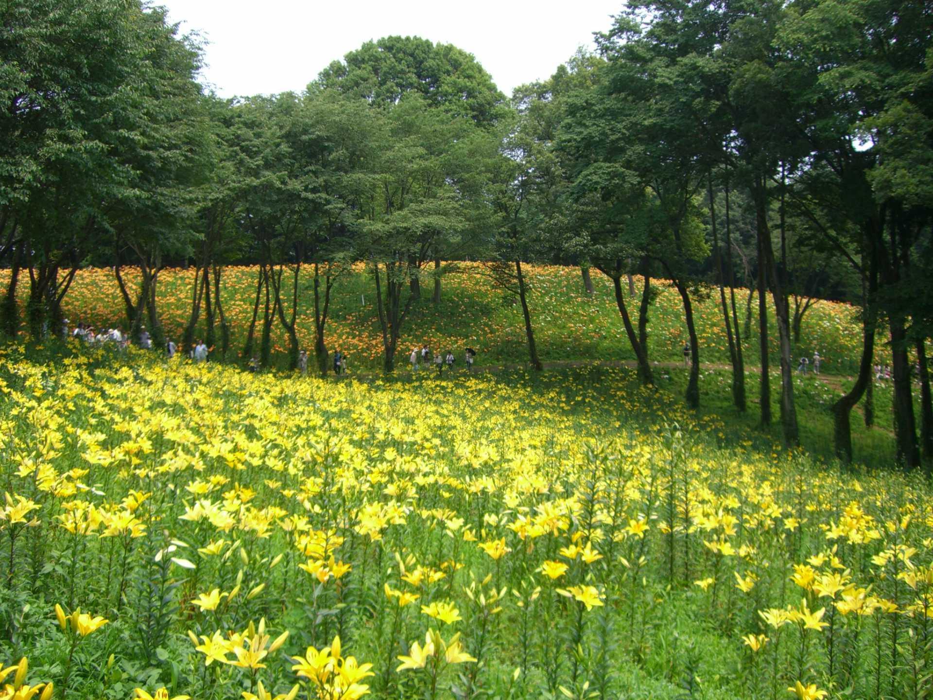 翠綠的樹林和嫵媚的百合花