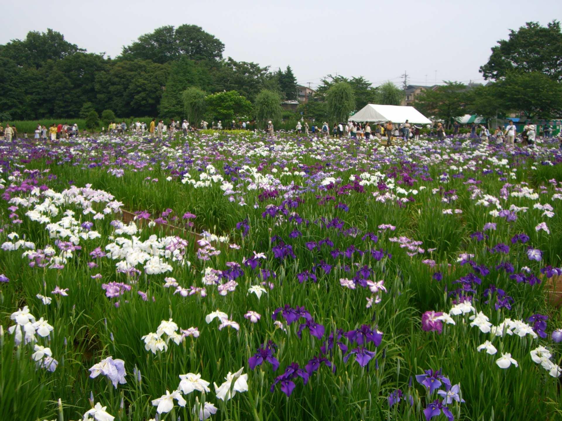 6月上旬~7月上旬是百合花全開的季節