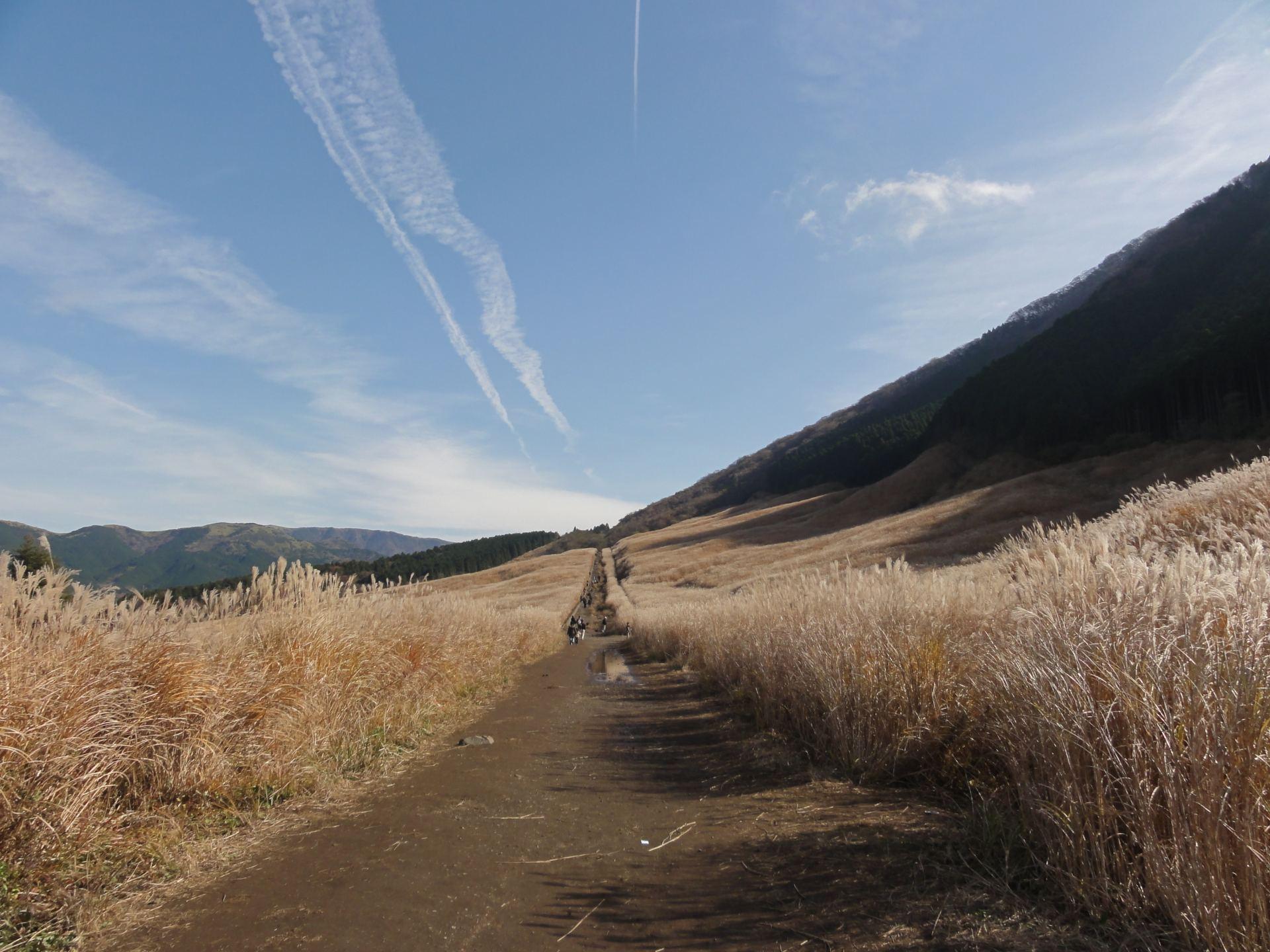 黄金色的芒草原野