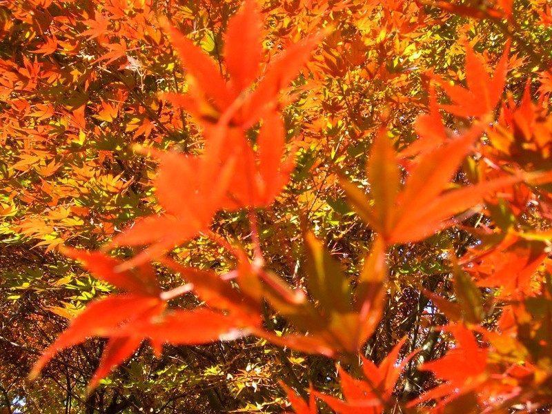 銀杏與楓葉交織的美景