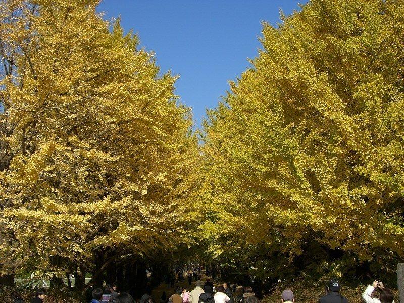 銀杏樹搭建的「黃金隧道」