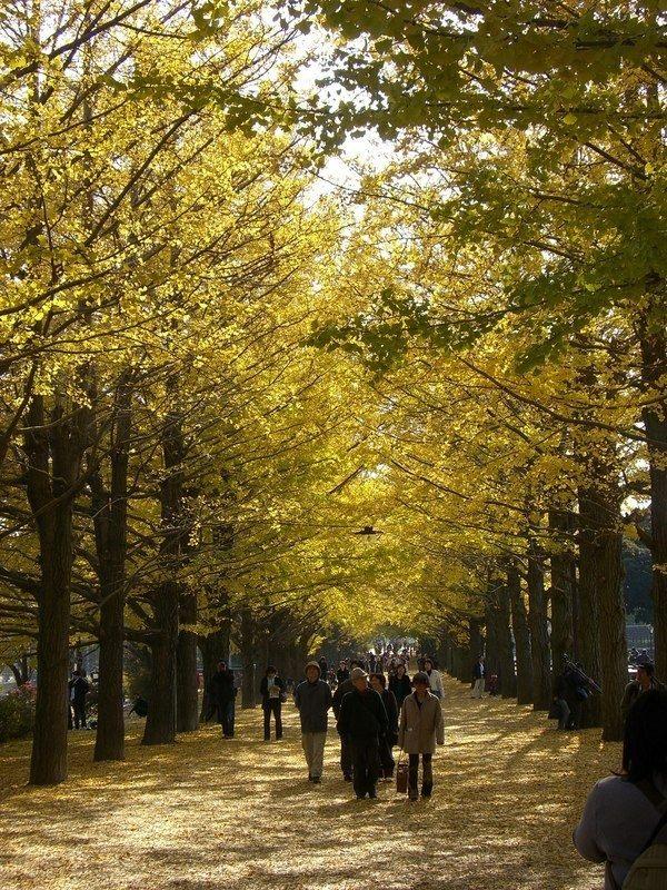 滿地落葉的金黃色地毯