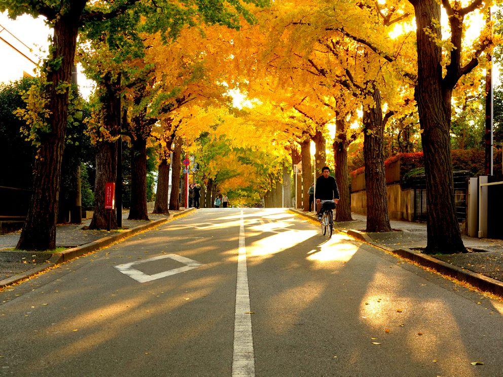 10月底到11月中旬欣赏银杏的最佳时间