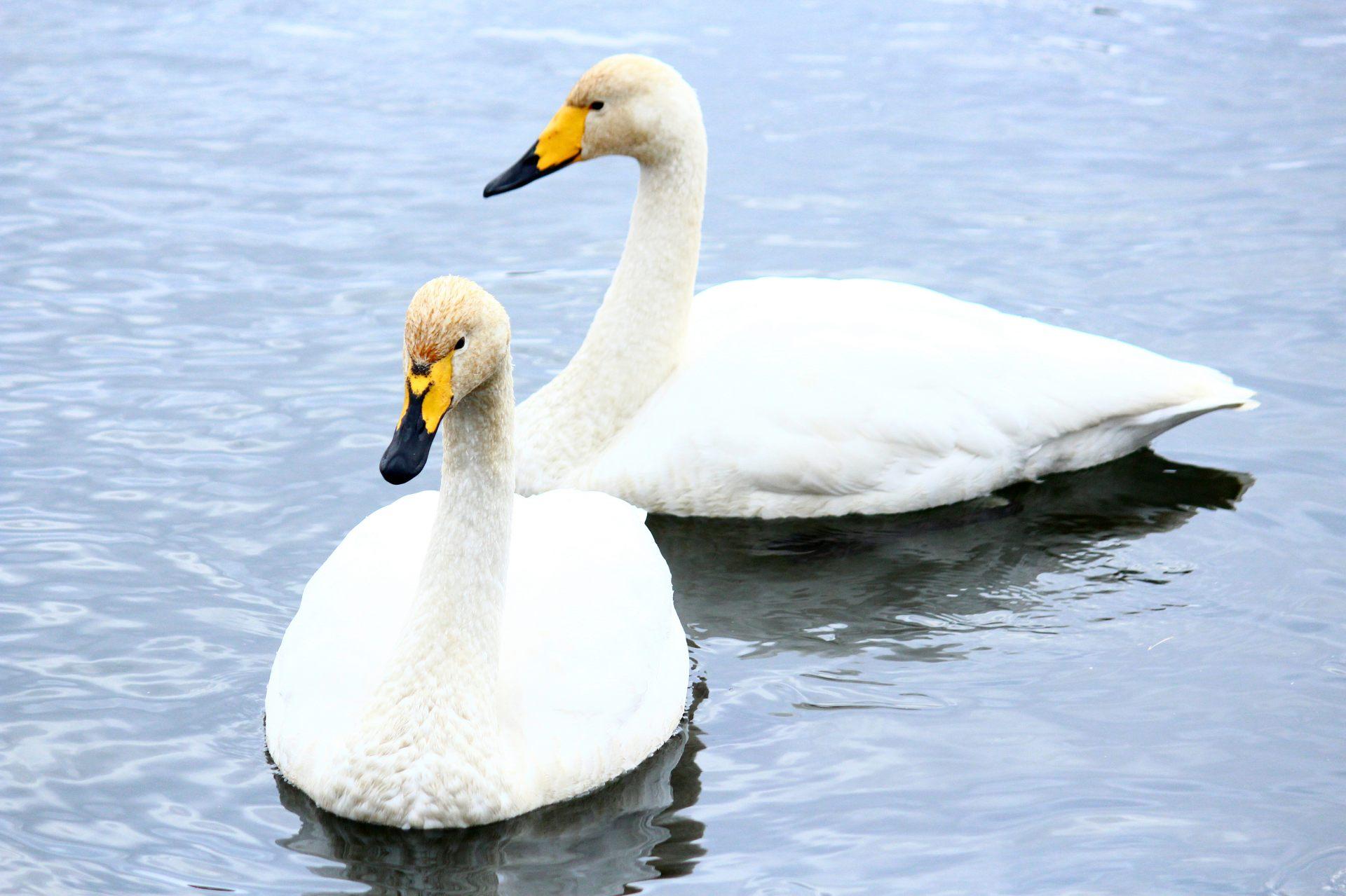 夏天的大沼公園 悠閒的白鳥