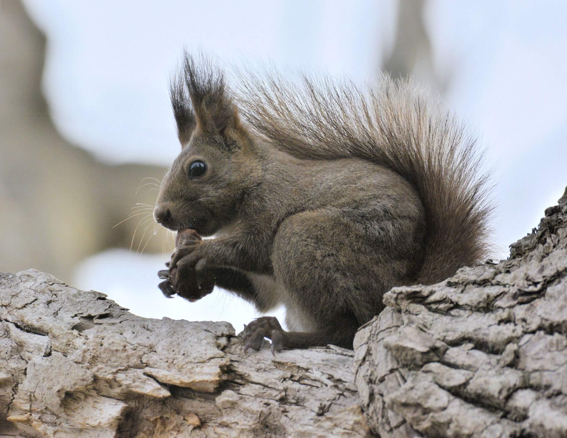秋天的大沼公園 正在品嘗美味的栗鼠