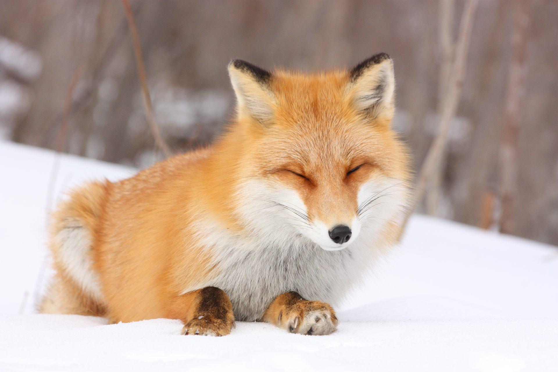 冬天的大沼公園 正在發呆的狐狸