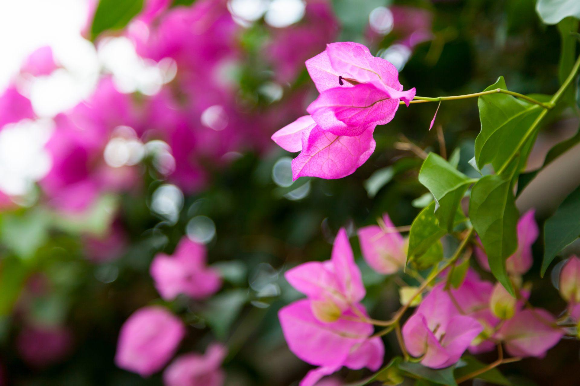 南美紫茉莉(九重葛)