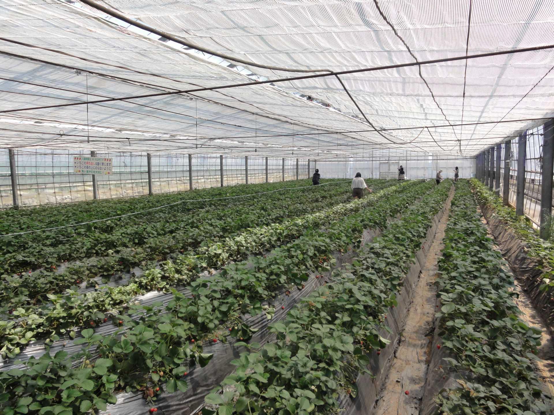 温室草莓园