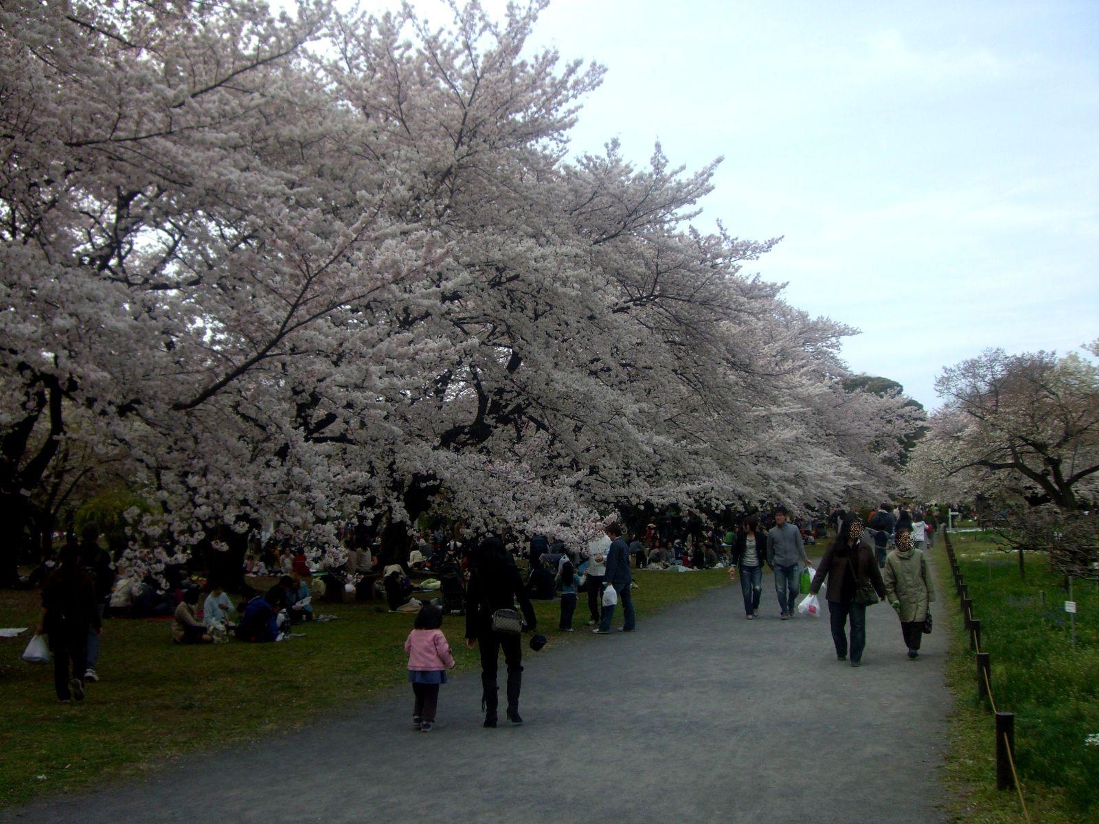 盛开着满满樱花的园内