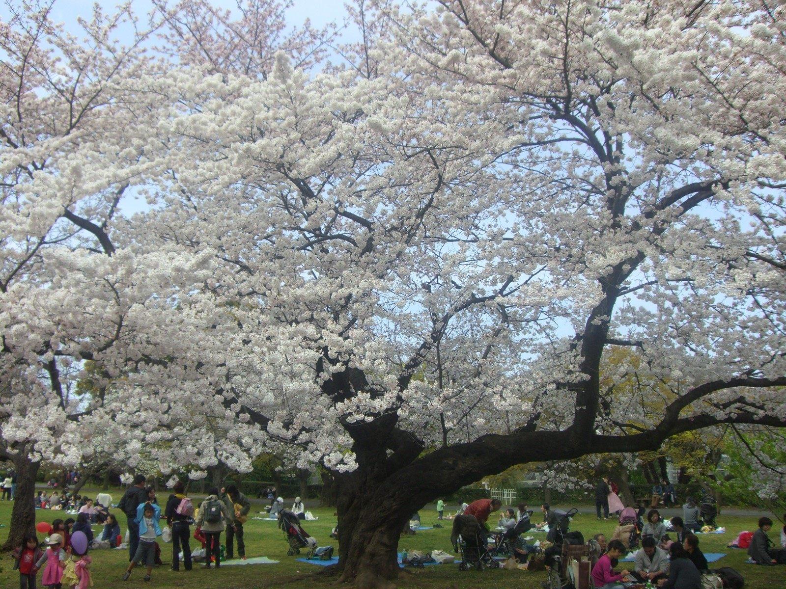 櫻花的樹枝離地面很近