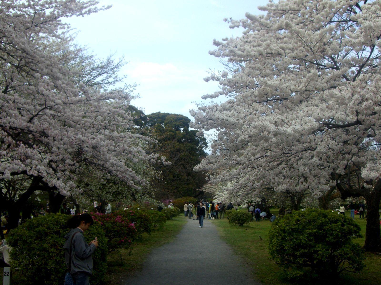 宽阔的草地和许多樱花树