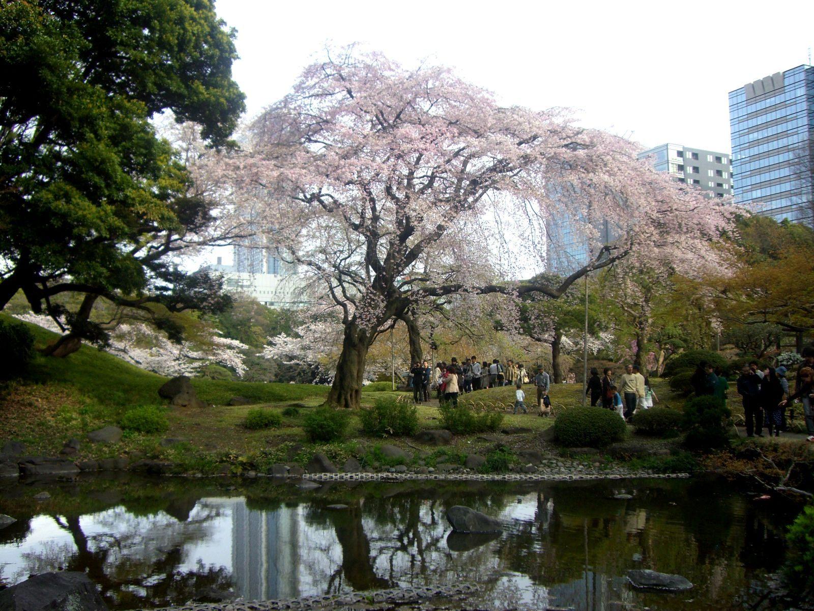 园内水塘与樱花树