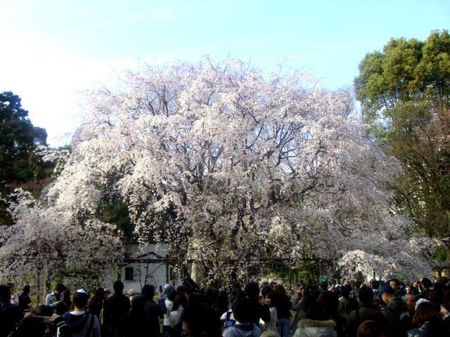 Must-visit Cherry Blossoms viewing spot, Rikugienn Gardens (Bunkyō-ku of Tokyo).