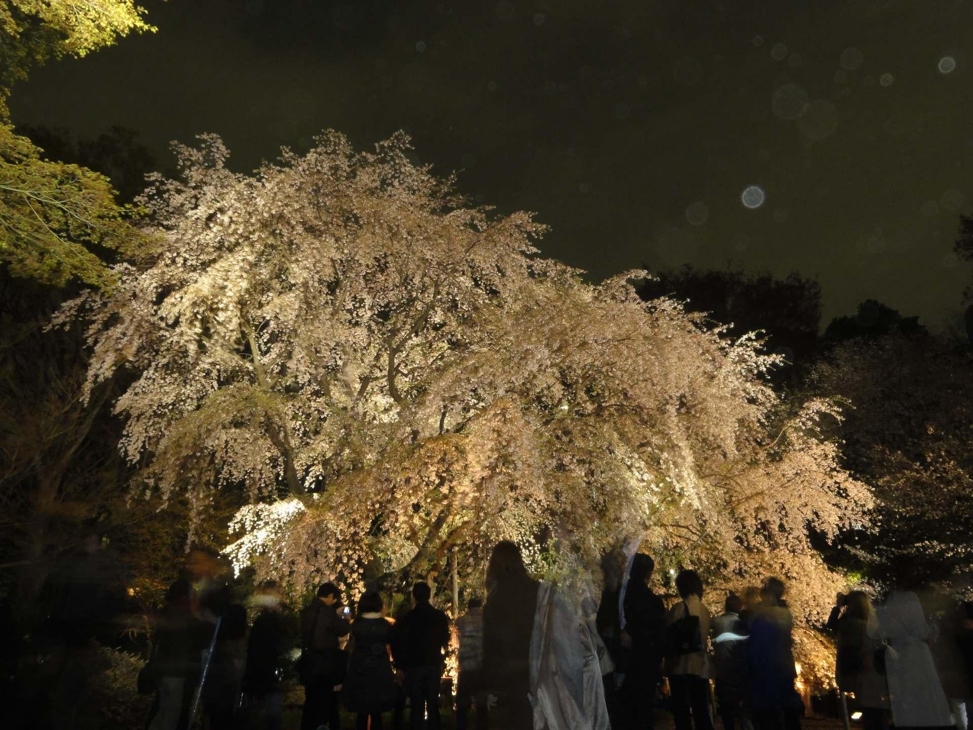 夜晚点灯后的枝垂樱一号