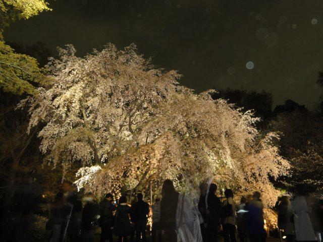 晚點燈後的枝垂櫻一號