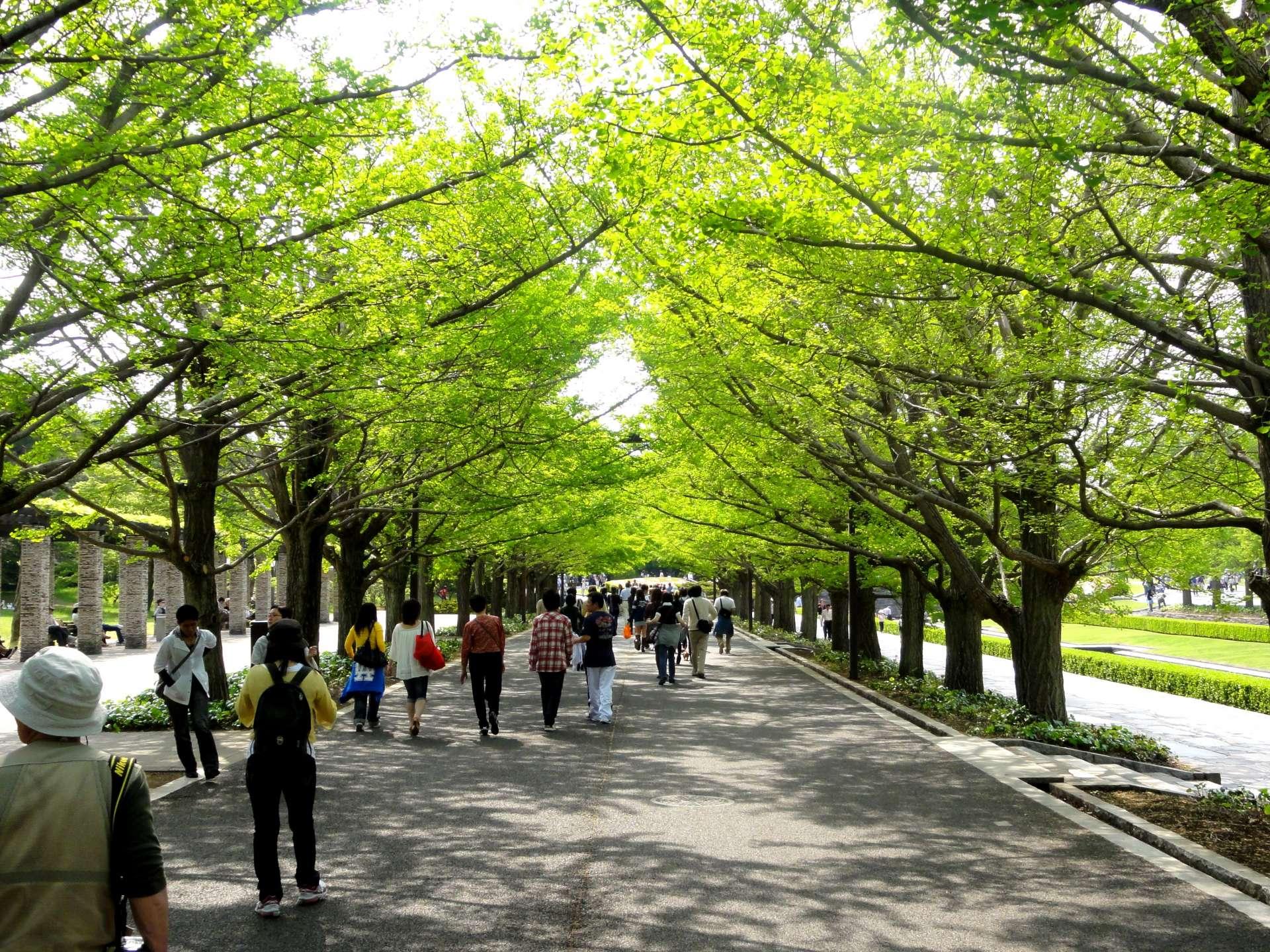 黃金週期間 新綠染成的銀杏大道