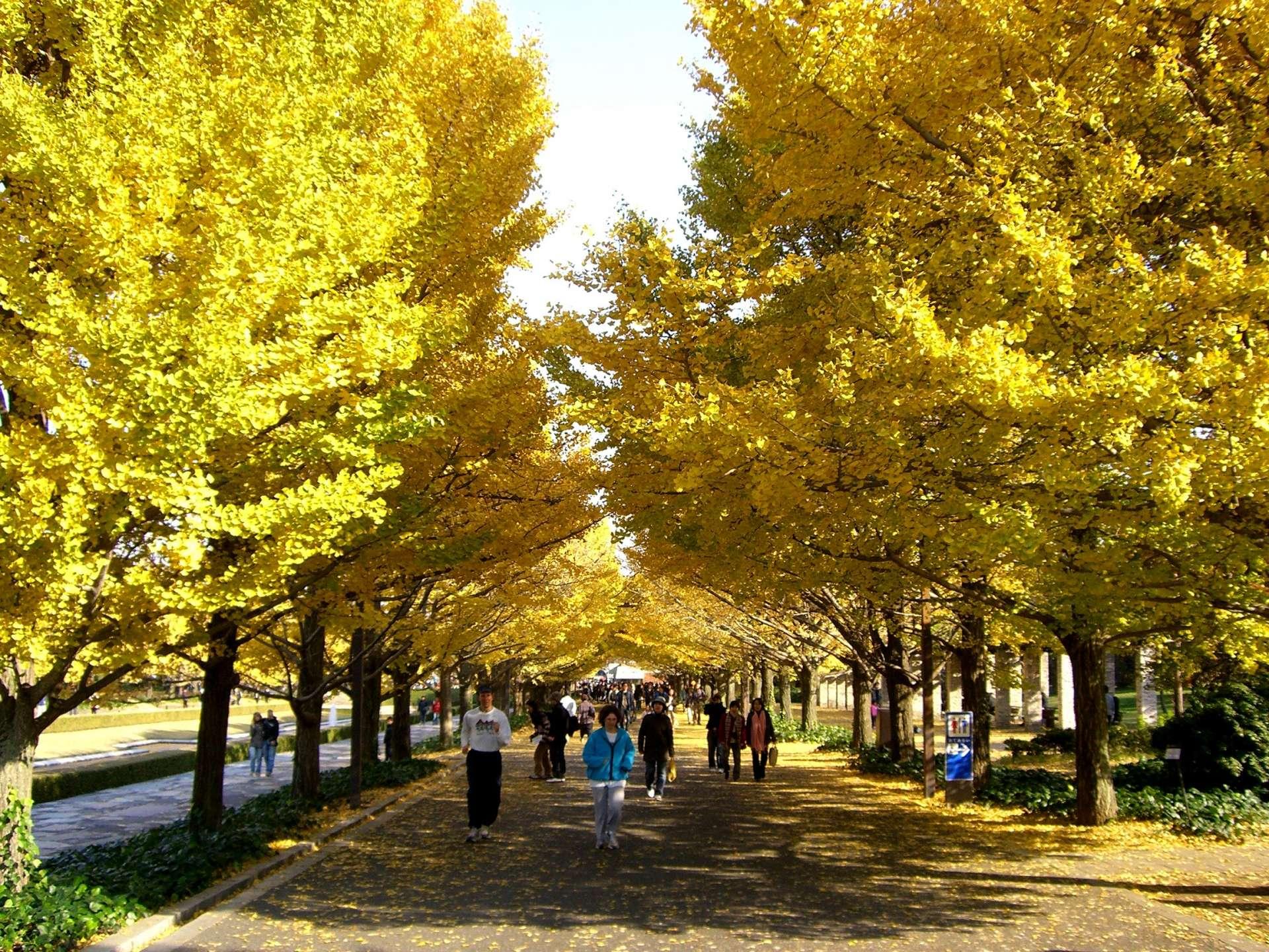 秋日限定的黃金隧道
