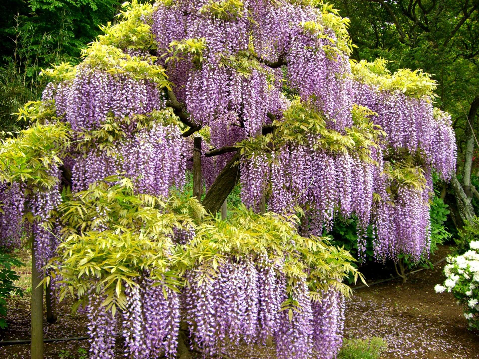 八重瓣紫藤