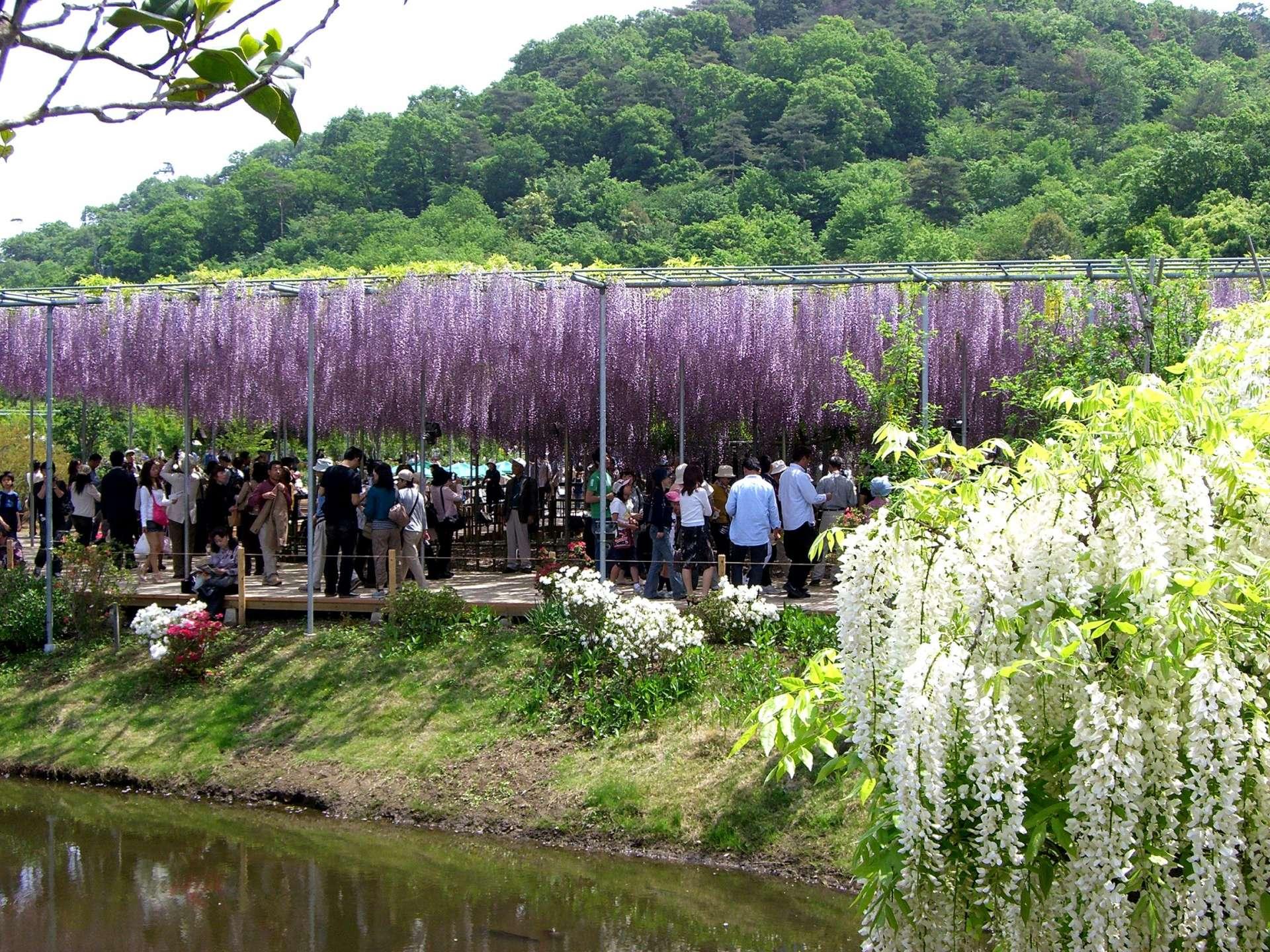 日本最大規模的紫藤觀賞名所