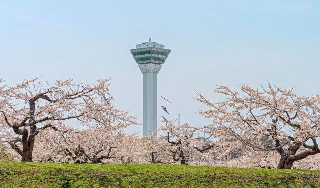 Must-visit Cherry Blossom viewing spot in Hokkaido, Hakodate Fort Goryokaku.
