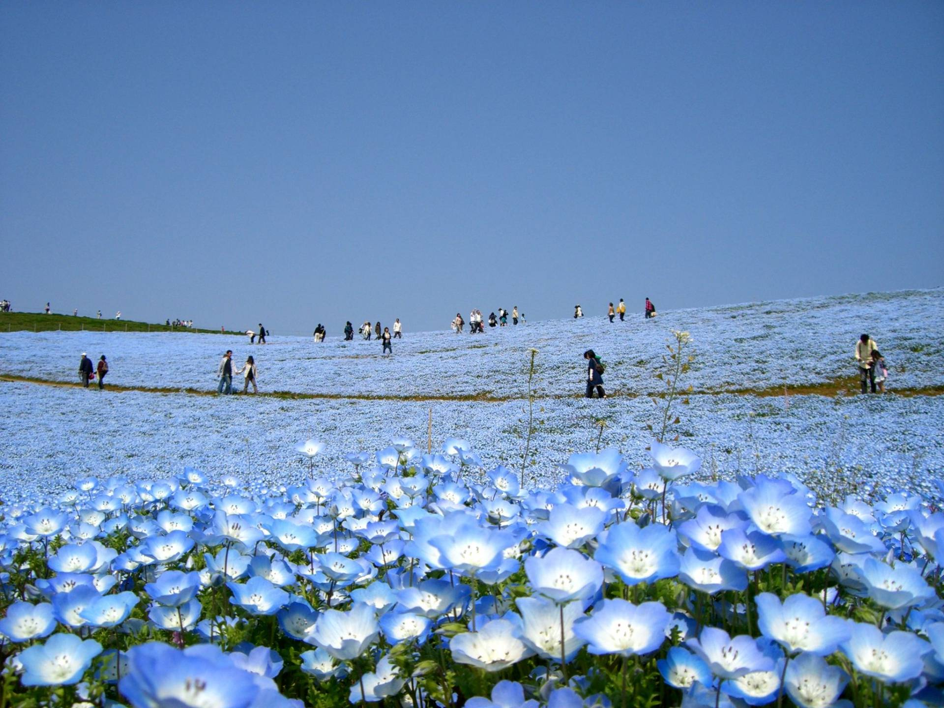 Hitachi Seaside Park: a blue flower carpet