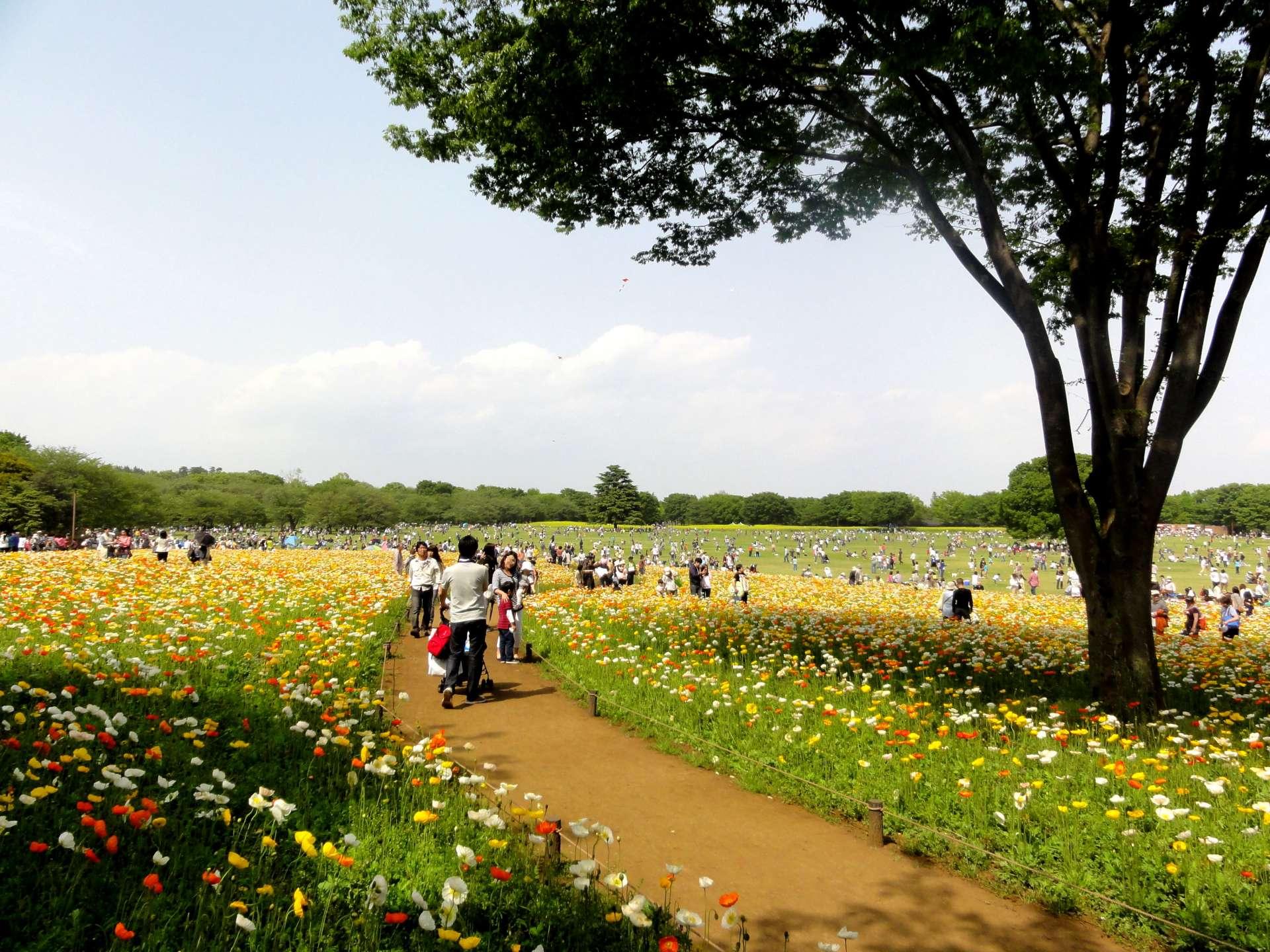 Showa Kinen Park: Iceland poppy blossos