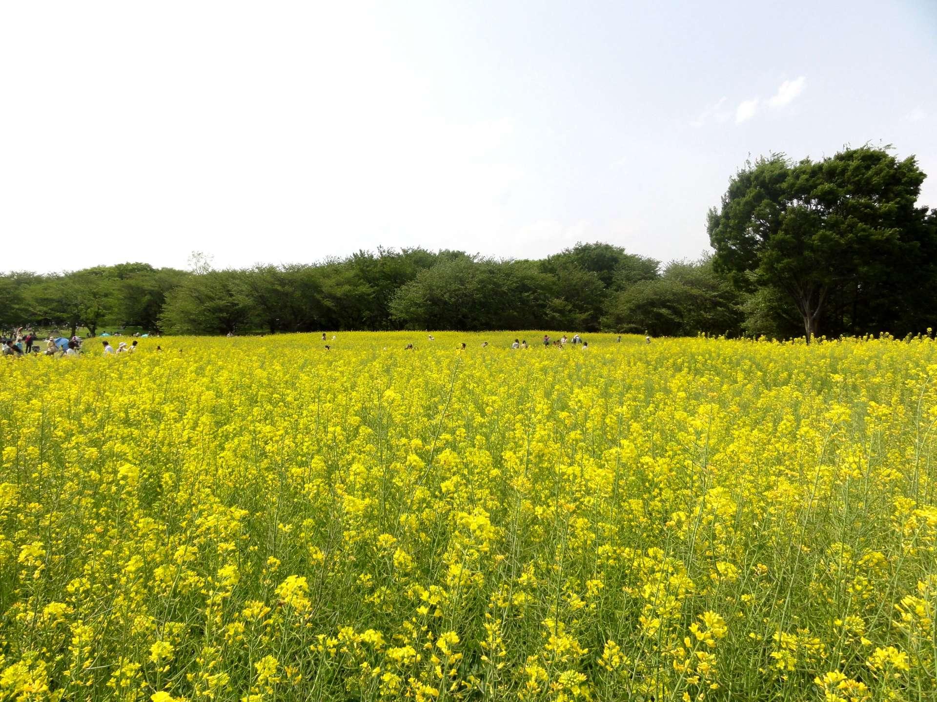 Showa Kinen Park: rape blossoms