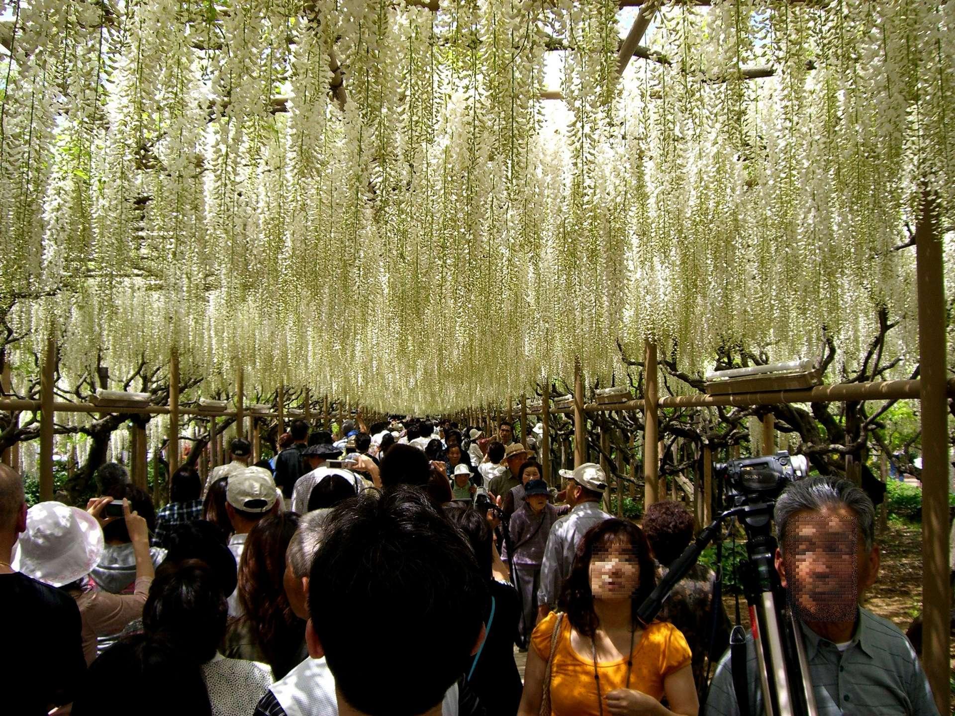 Ashikaga Flower Park: white wisterias