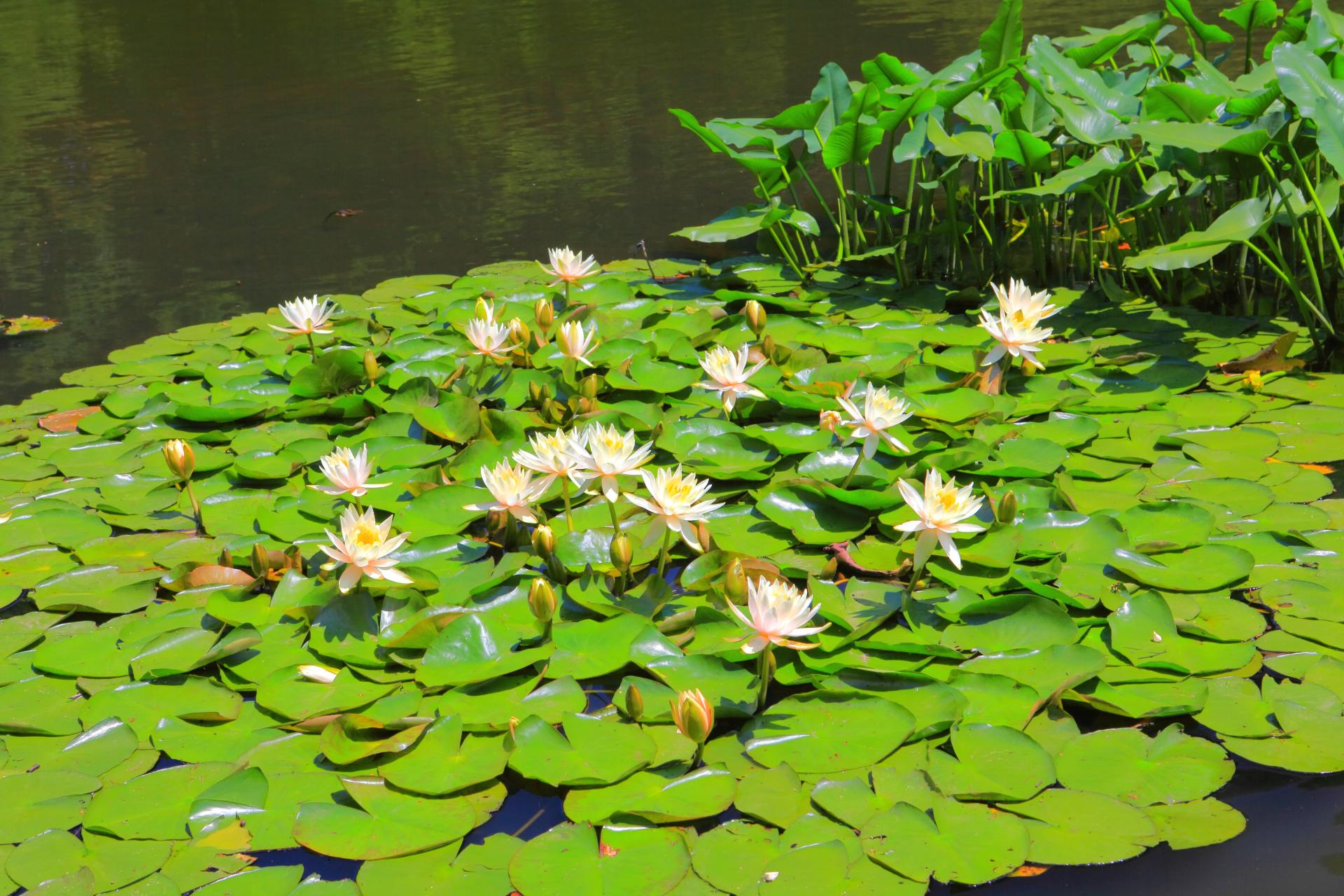 池塘中的睡莲♡