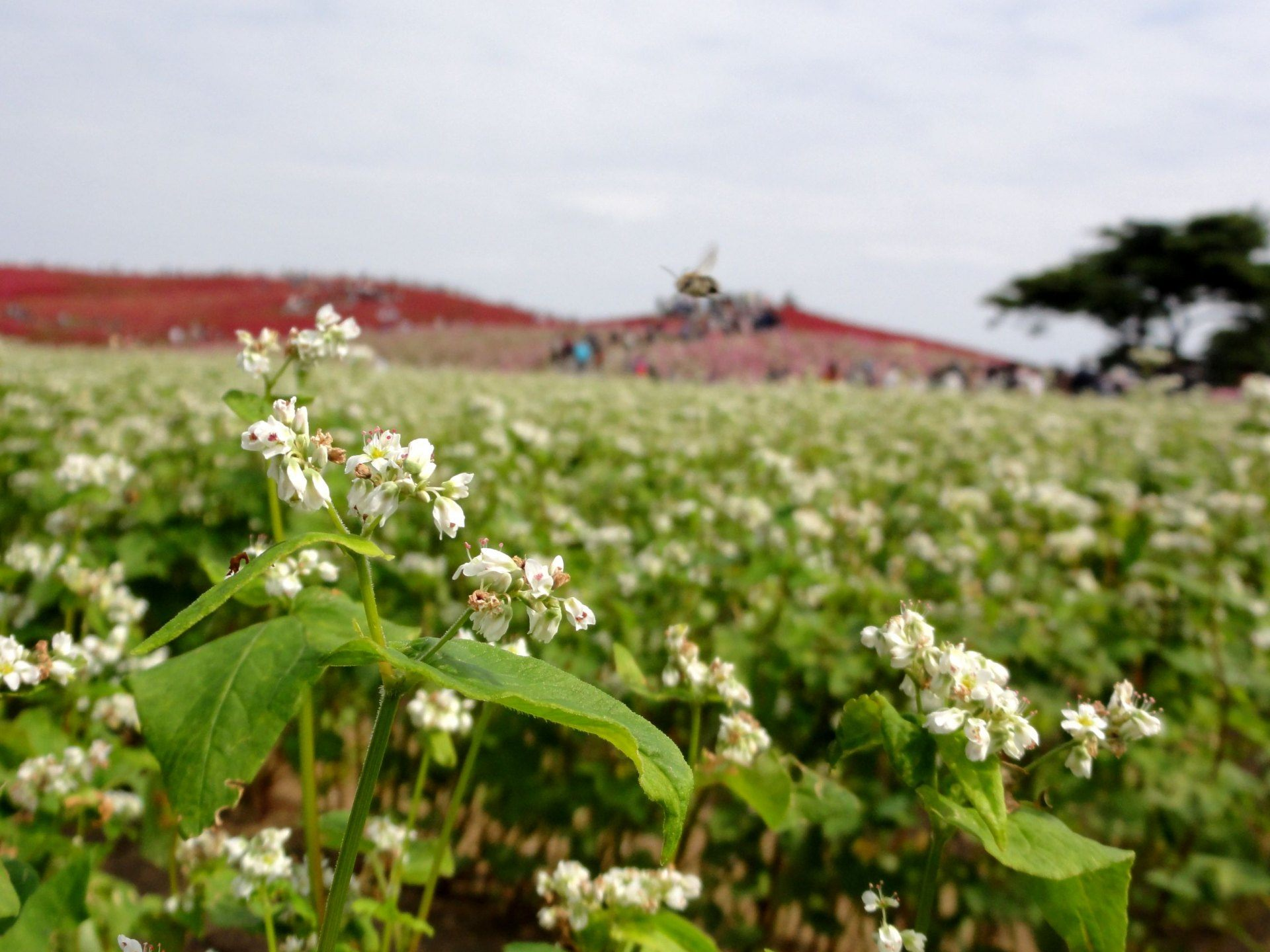 The buckwheat flower is white, beautiful and simple without strong smell.