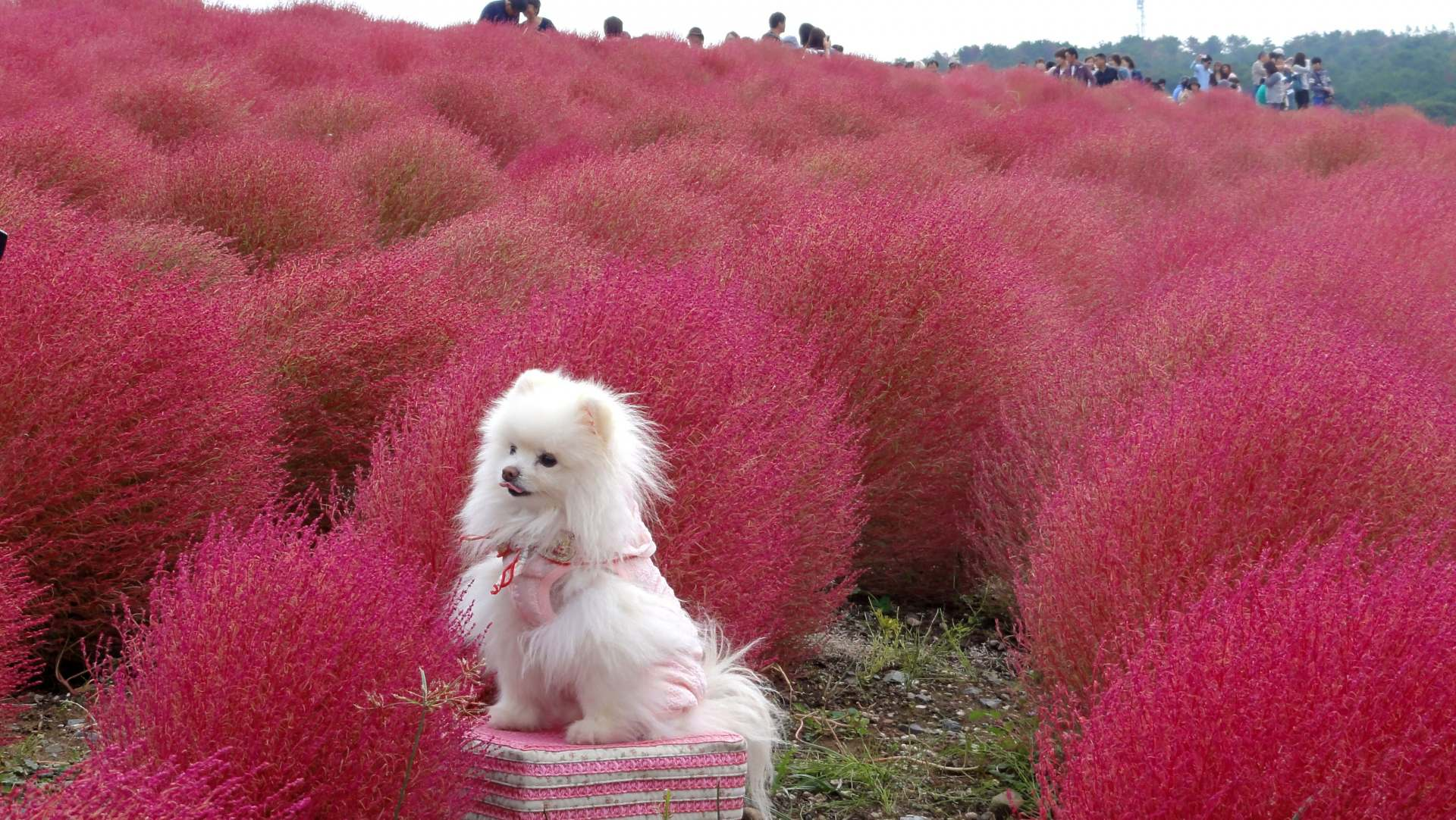 Summer cypress field and dog