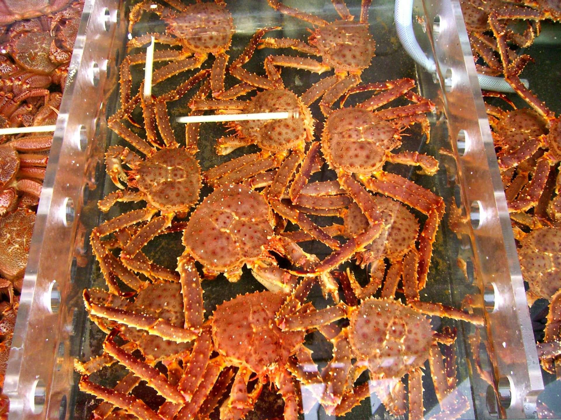函馆早市 螃蟹