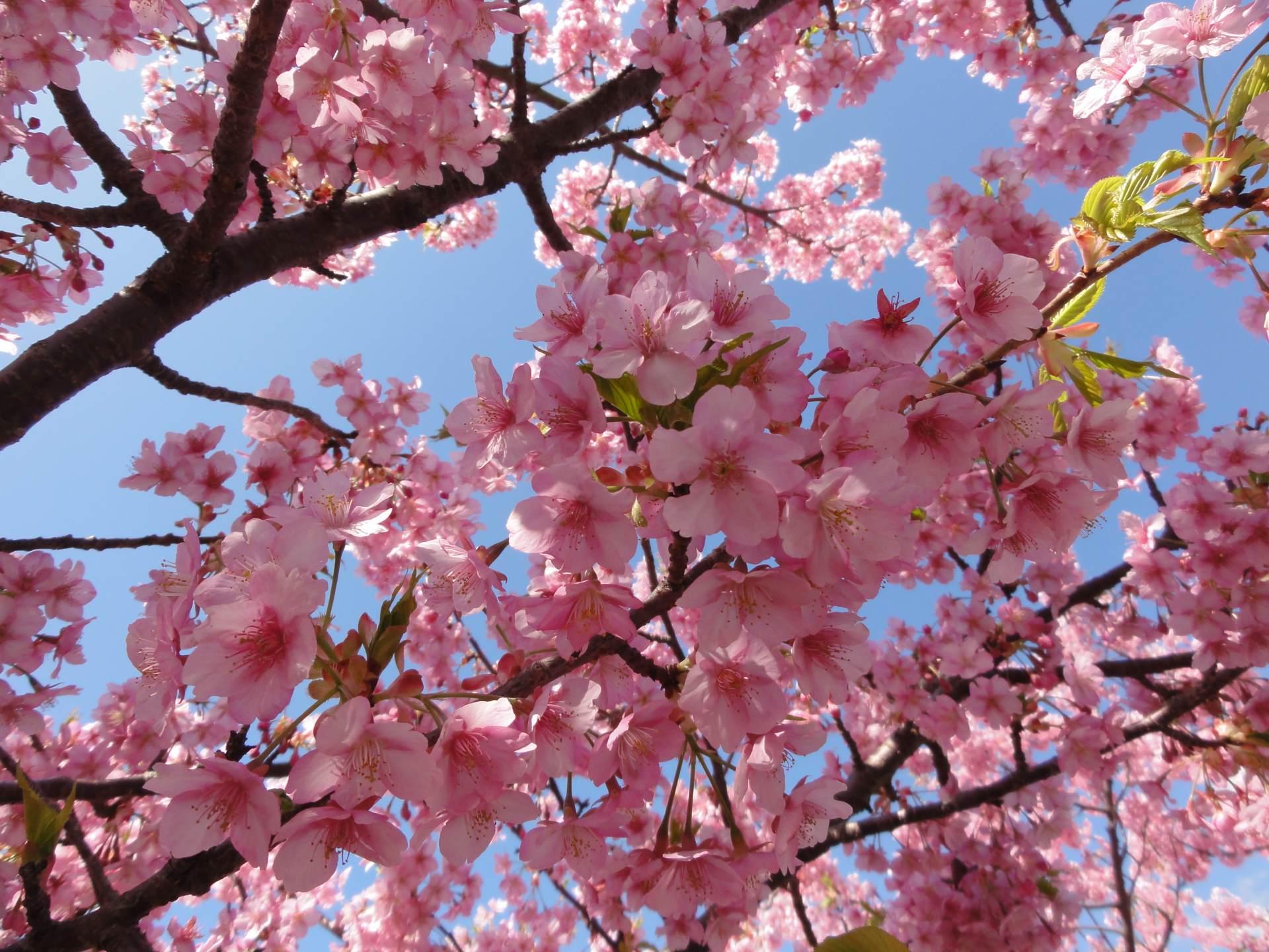 粉嫩的櫻花繽紛爛漫