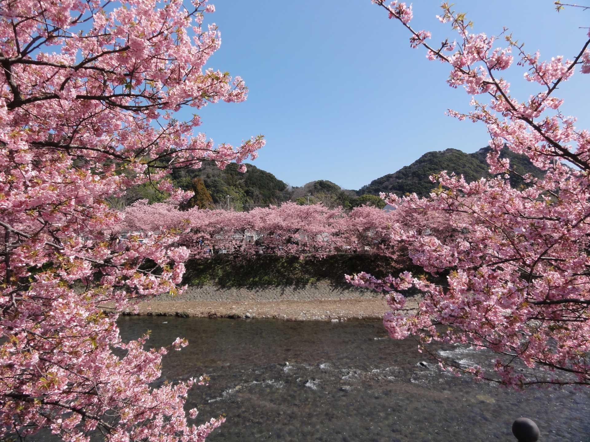 由河津櫻花編織的雅緻的粉色窗簾