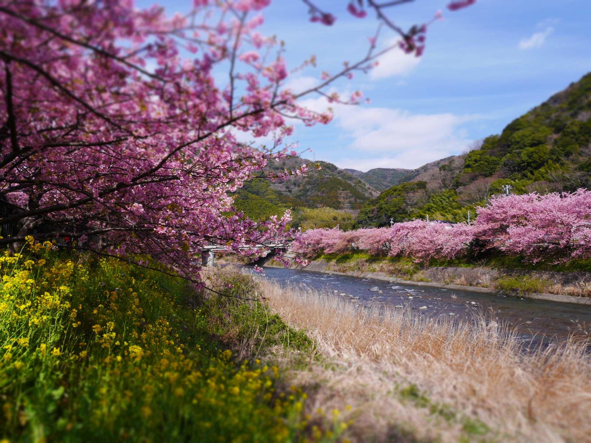 河川下游的河津櫻粉色更深