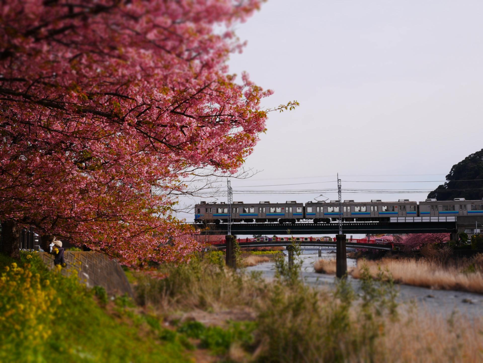 火車+河津櫻+油菜花的風景詩