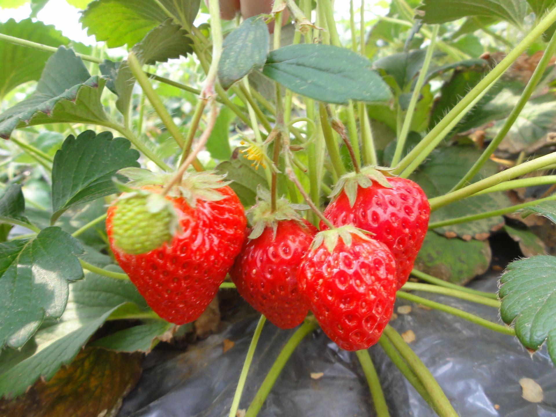 還可以體驗愉快的採草莓
