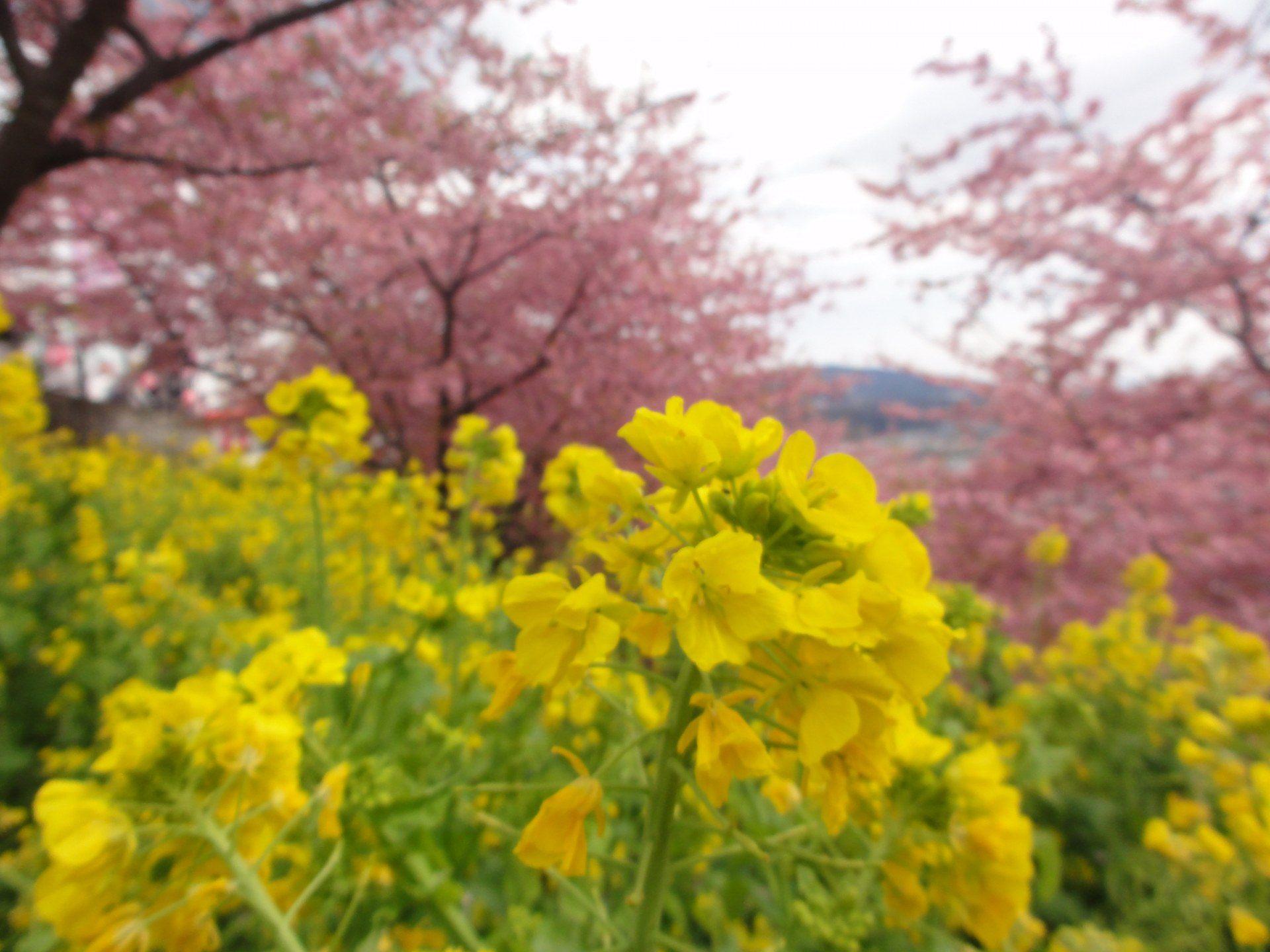 山坡上開滿的櫻花及油菜花