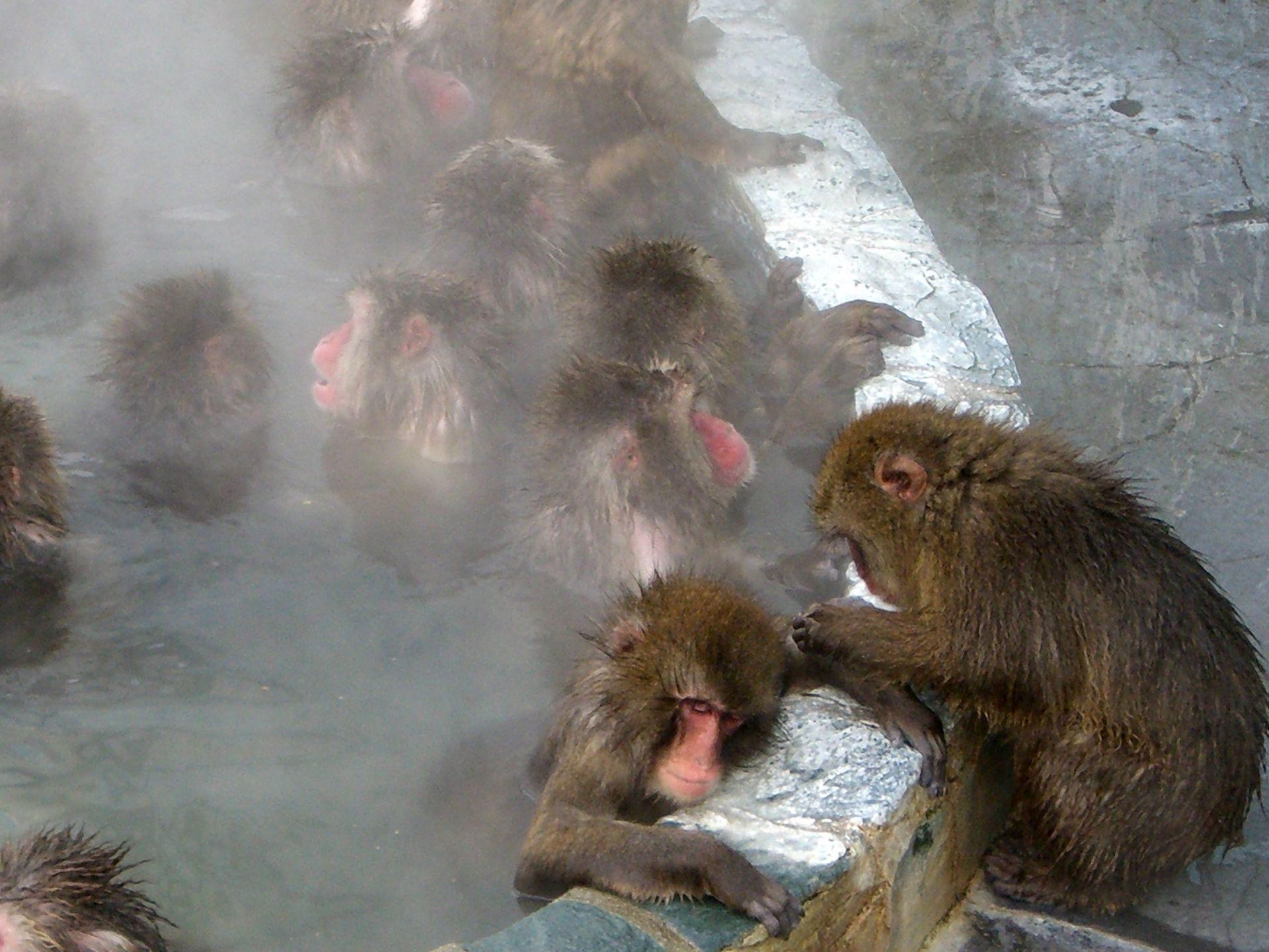 汤之川温泉 泡汤嘻戏的猴子