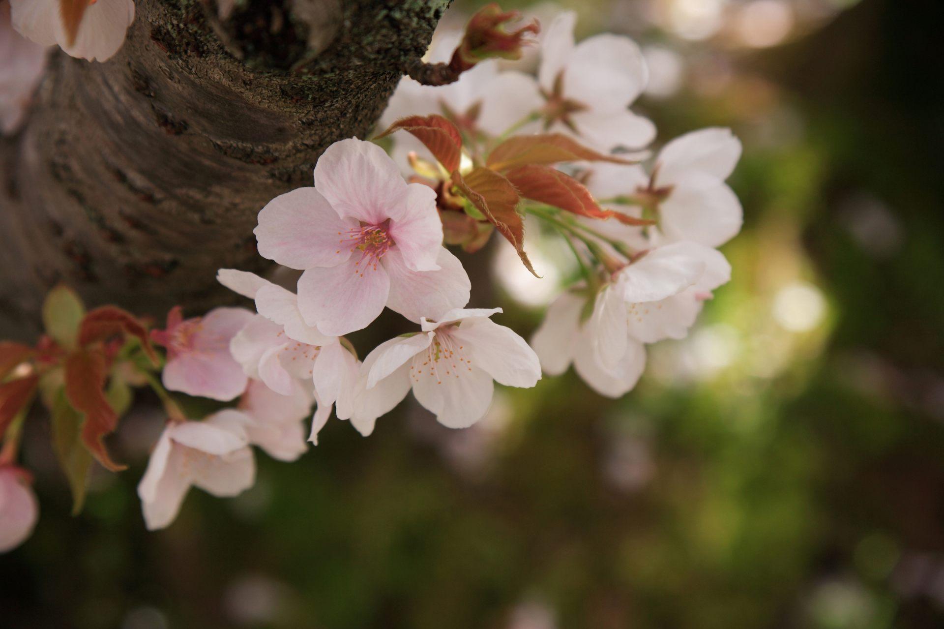 茂密繁盛的的御室樱