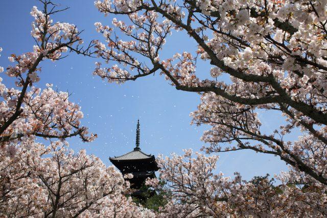京都必遊賞櫻景點,世界文化遺產【仁和寺】的御室櫻。