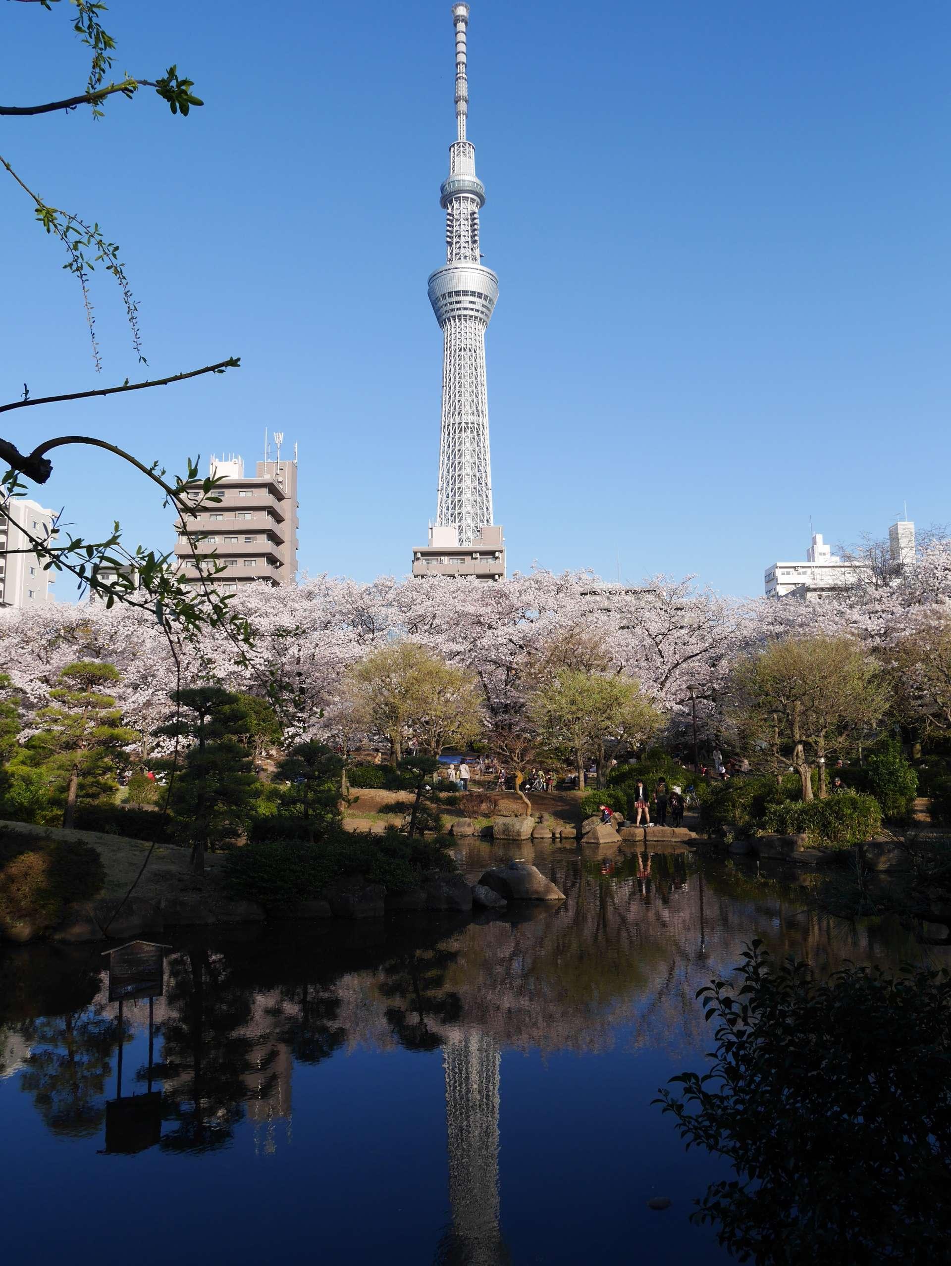 像鏡子般反射了晴空塔及櫻花的美景