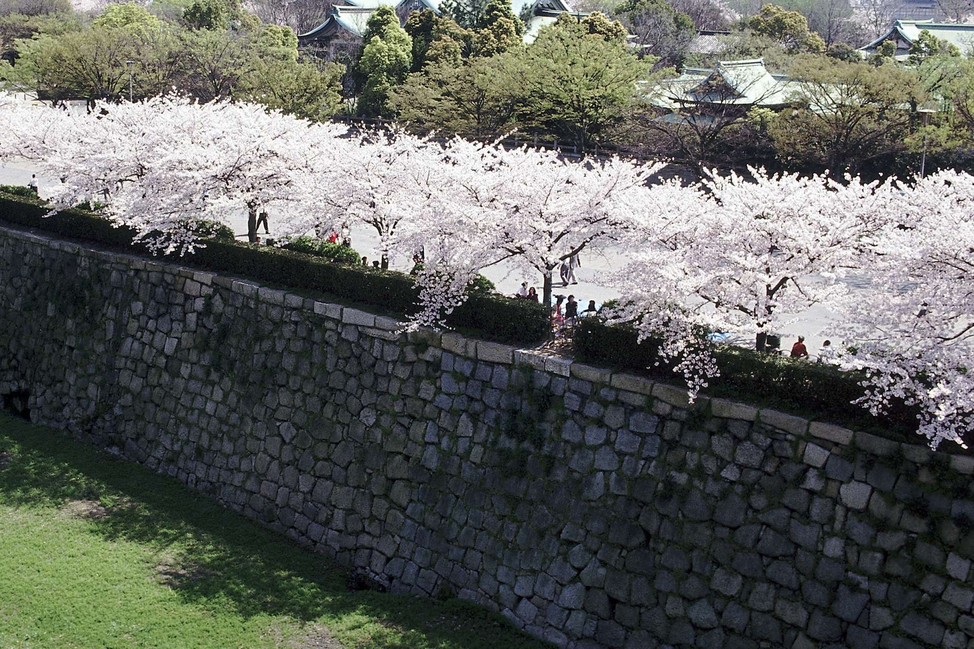 雄壯的石垣和溫柔的櫻花