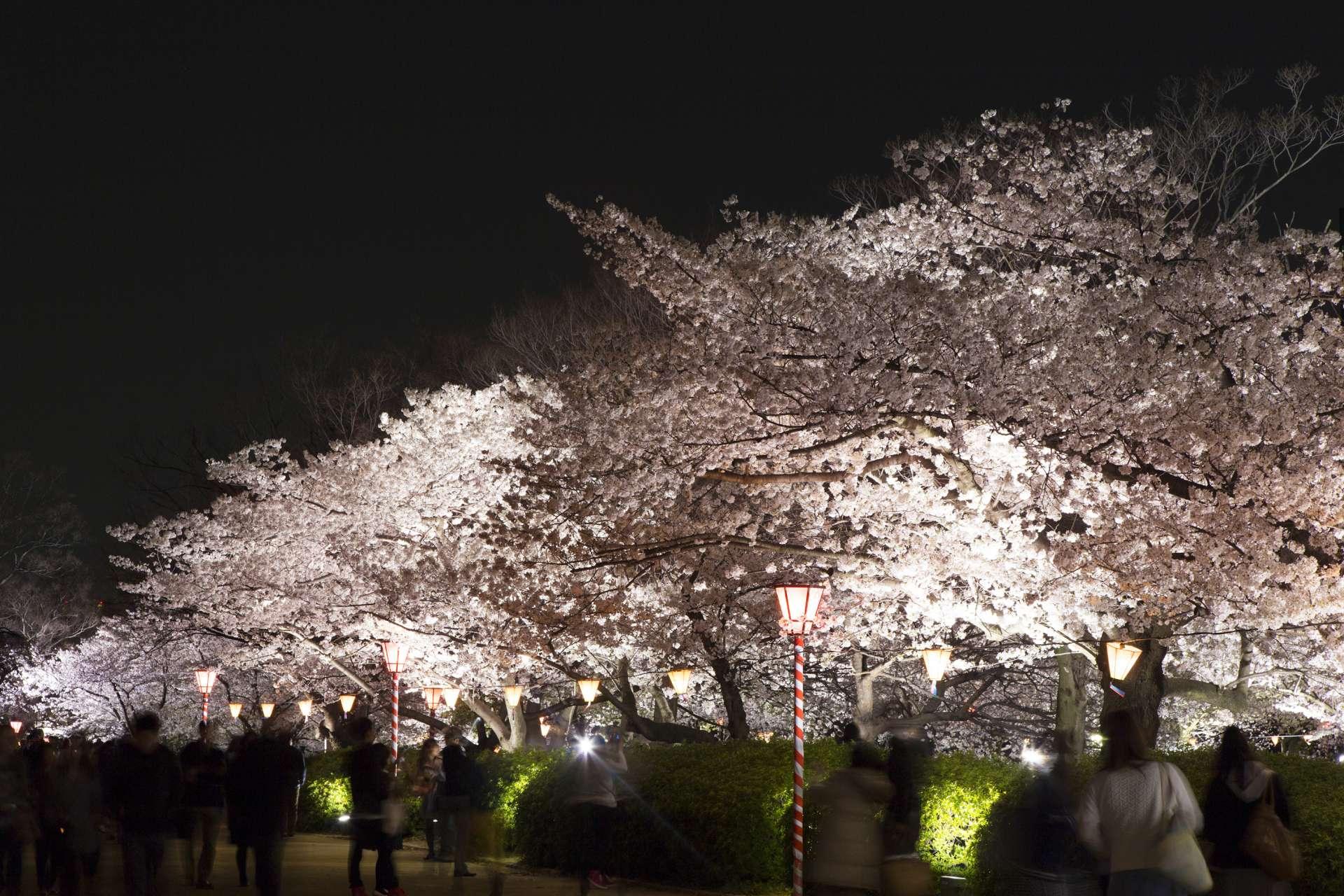 櫻花與燈飾