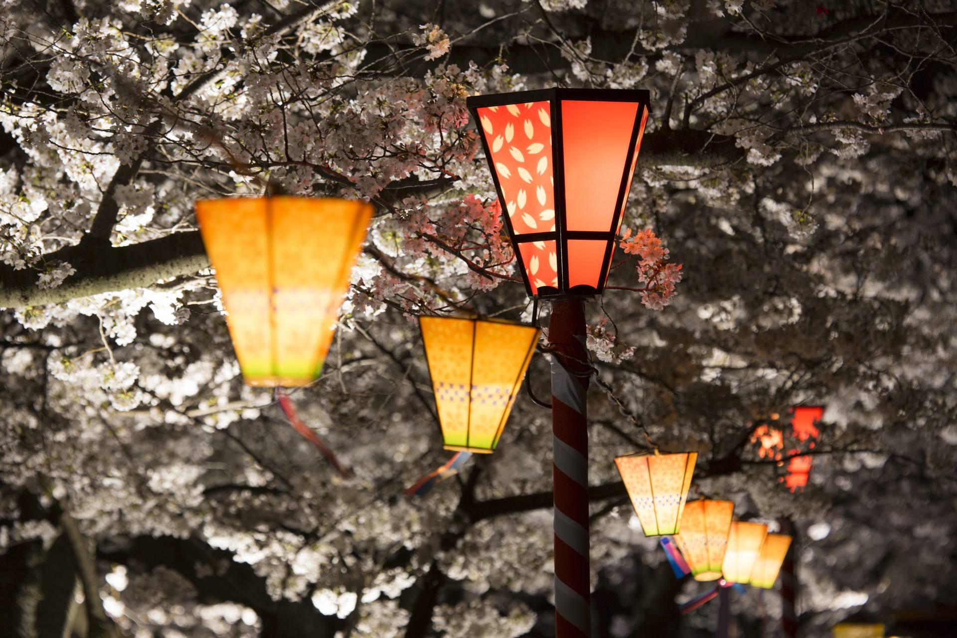 點綴櫻花的燈飾