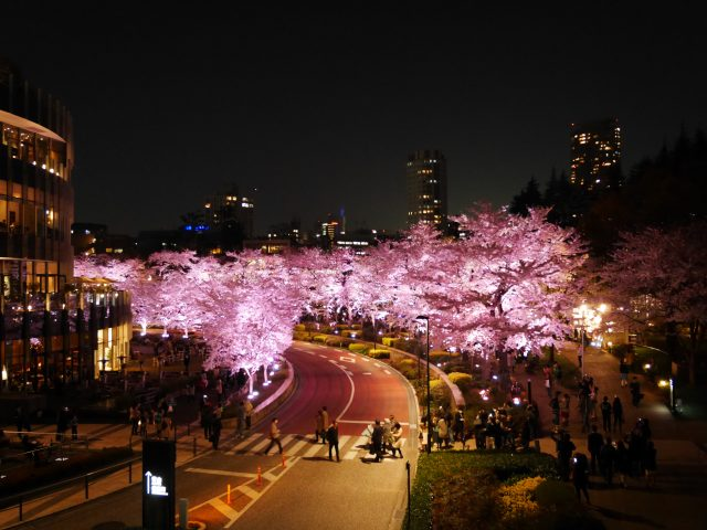 Cherry blossoms at day・night in Tokyo・Roppongi Midtown
