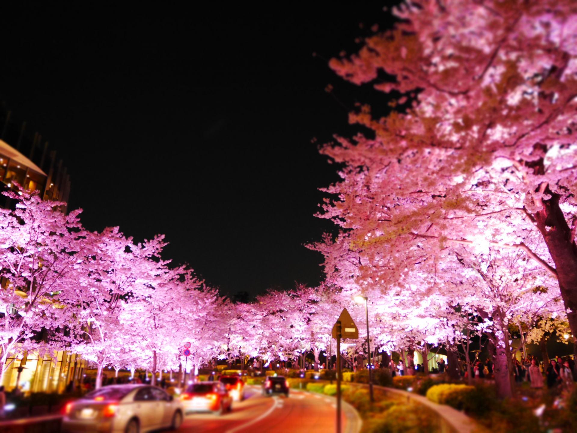 緩緩彎曲的櫻花大道坡