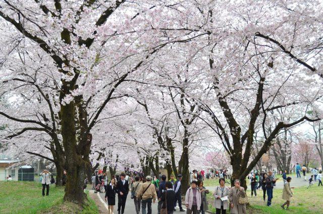 櫻花名所・群馬【赤城南面千本櫻】。爭相綻放的櫻花,美到讓人無法置信的絕景!